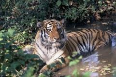 Amur_Heilong_Species_image_c_Hartmut_Jungius_WWF_Canon